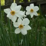 floare_de_primavara