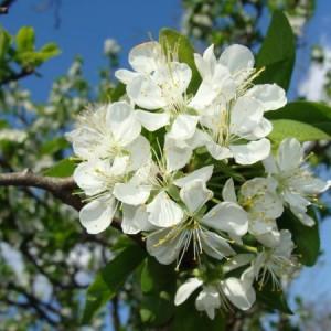flori de prun 300x300 Flori de Prun