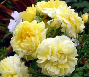 trandafiri_galbeni